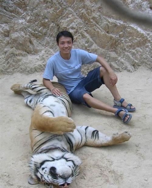 После обеда у тигров тихий час и сонные тигры не против того, чтобы им почесывали спинку, уши, а в самом хорошем настроении и пузо – как кошка тигры тоже иногда переворачиваются на спину и валяются лапами кверху.